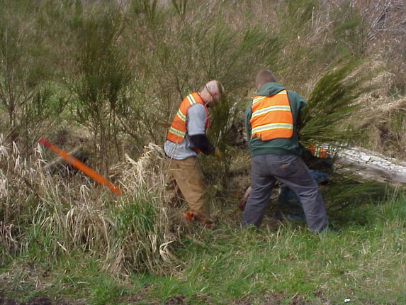 Scotch Broom Removal near flood gate